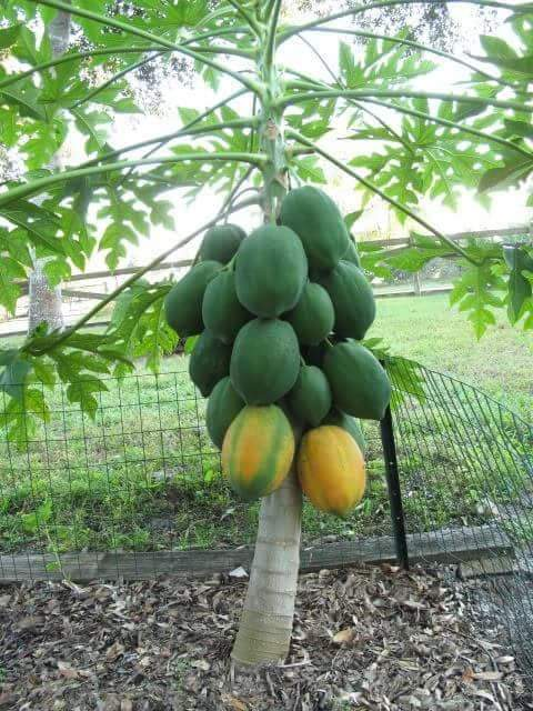 Red Lady papaya - Aziz Nursery Farm