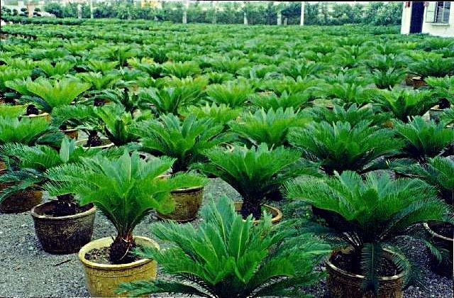 Cycas revoluta plants for sale