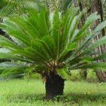 Cyces revoluta, kangi palm plants