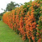 Golden Shower Flower Vine plants