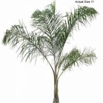 Queen Palm plants for sale