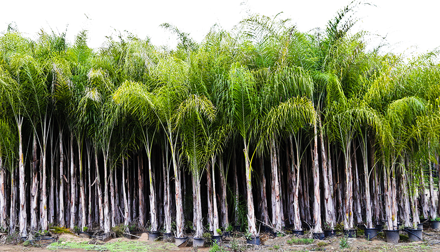 Queen Palm plants