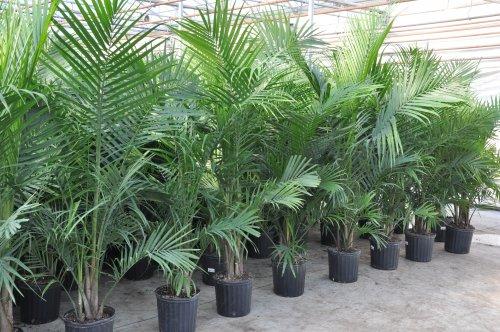 Ravenea Palm plants for sale