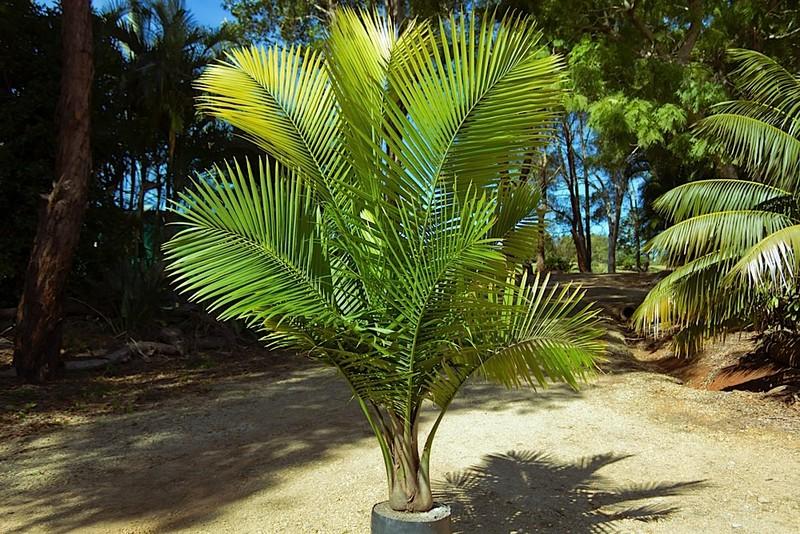 Ravenea Palm plants