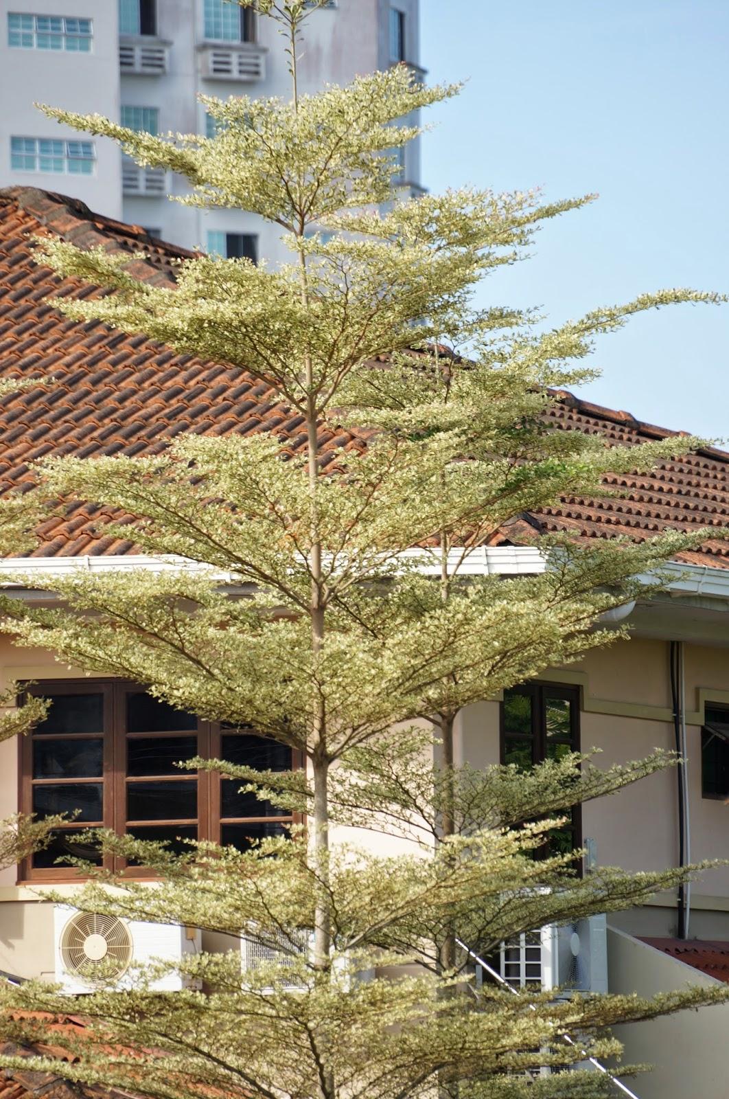Terminalia Mantalay Verigated Tricolor