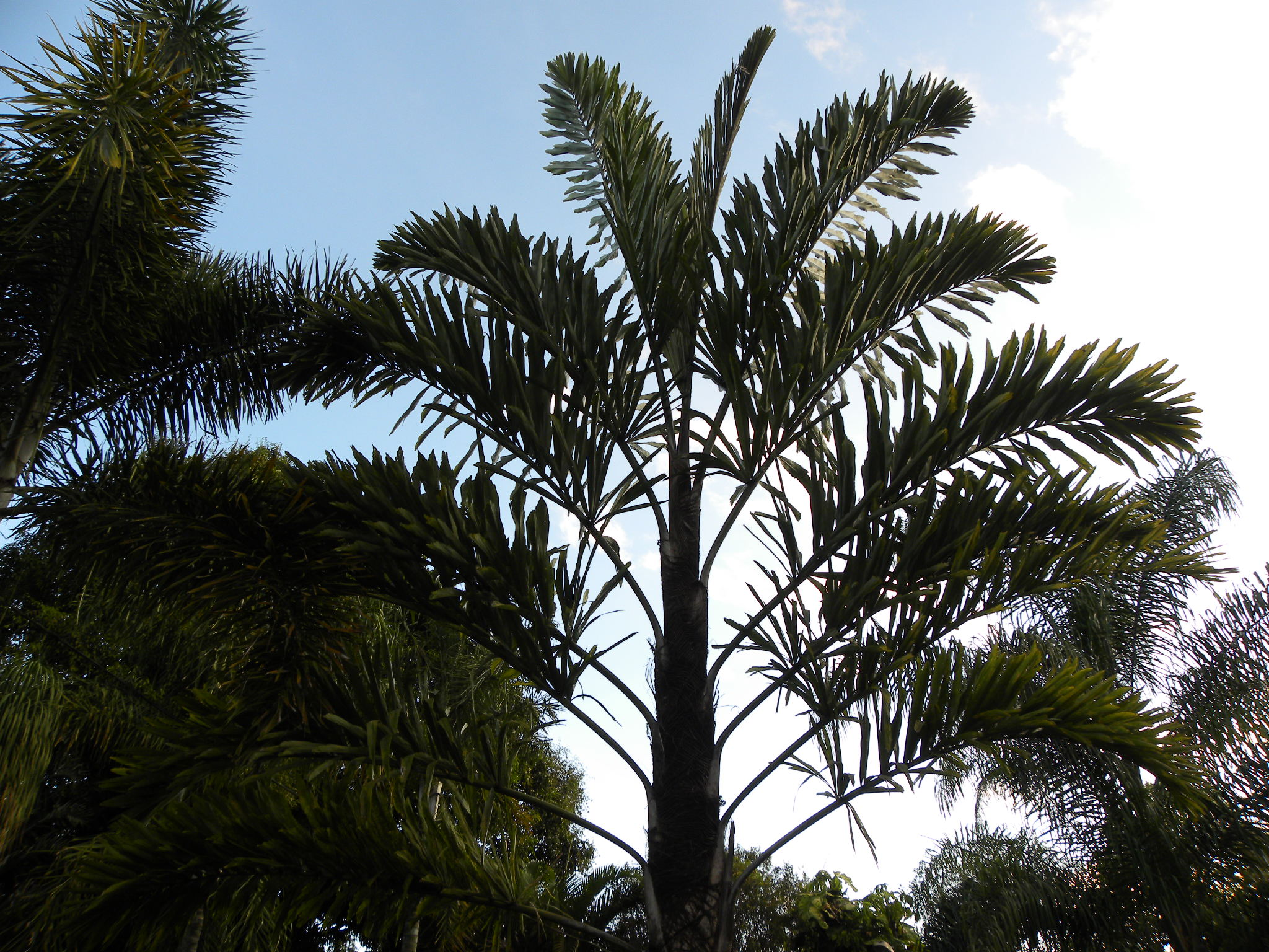 Walichia palm plants