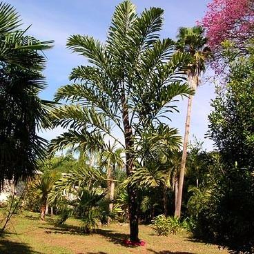 walichia palm