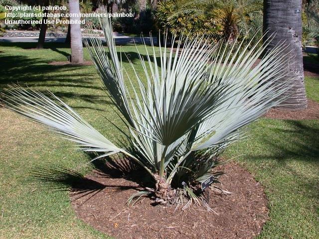 nannorrhops ritchiana mazari palm