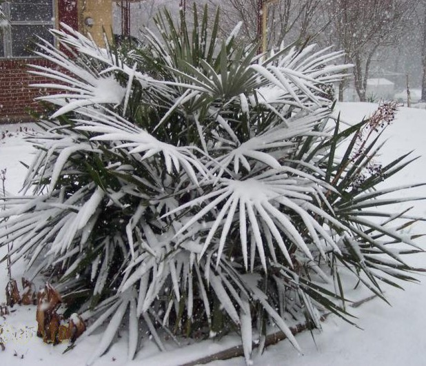 nannorrhops ritchiana palm in snow