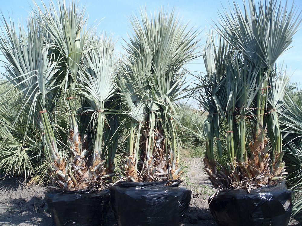 nannorrhops ritchiana palm plants
