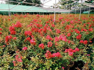 Lagerstroemia dwarf Red color