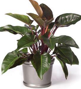 Rojo Congo plants