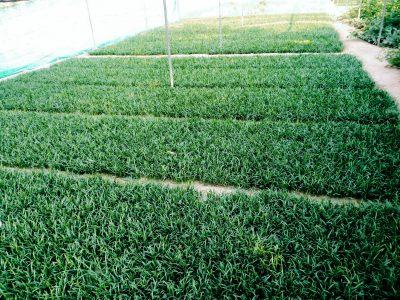 Phonex palm seedlings