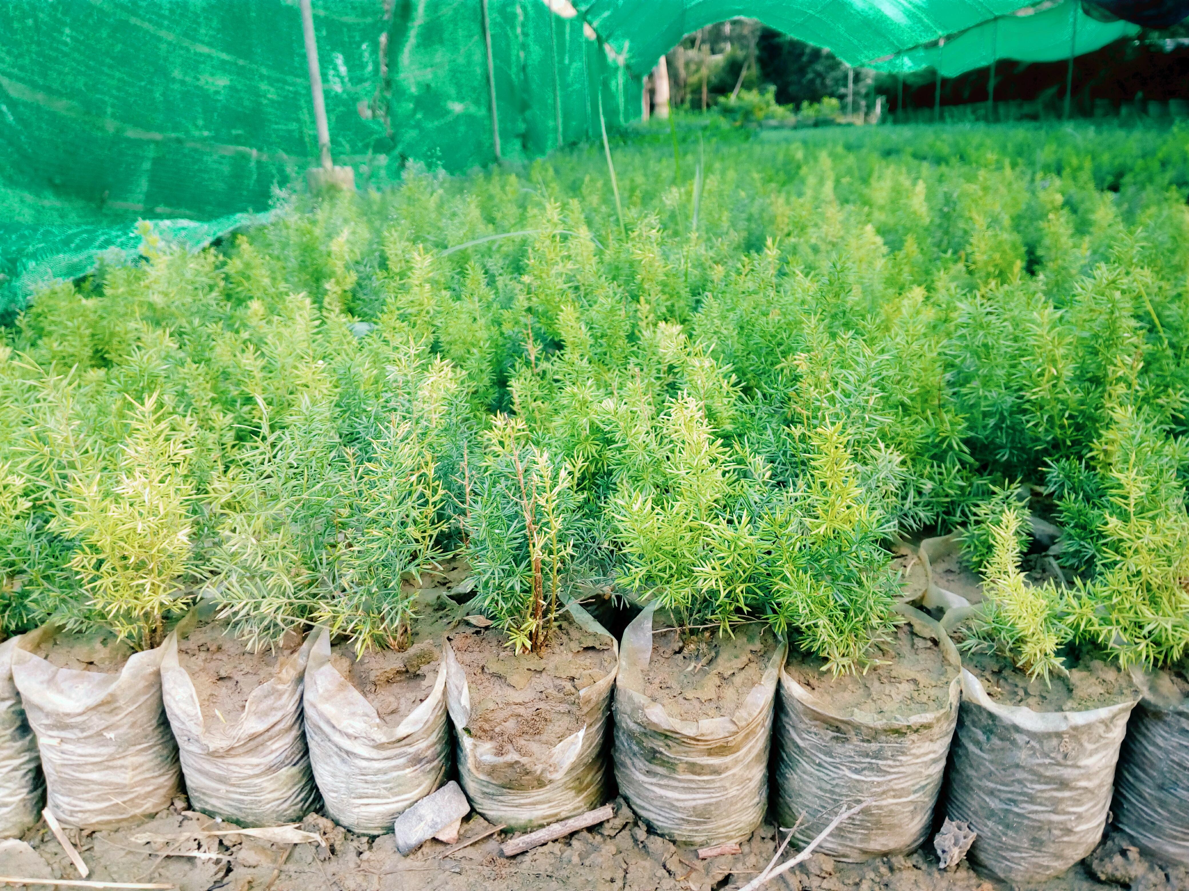 Merry , Foxtail Fern seedlings for sale
