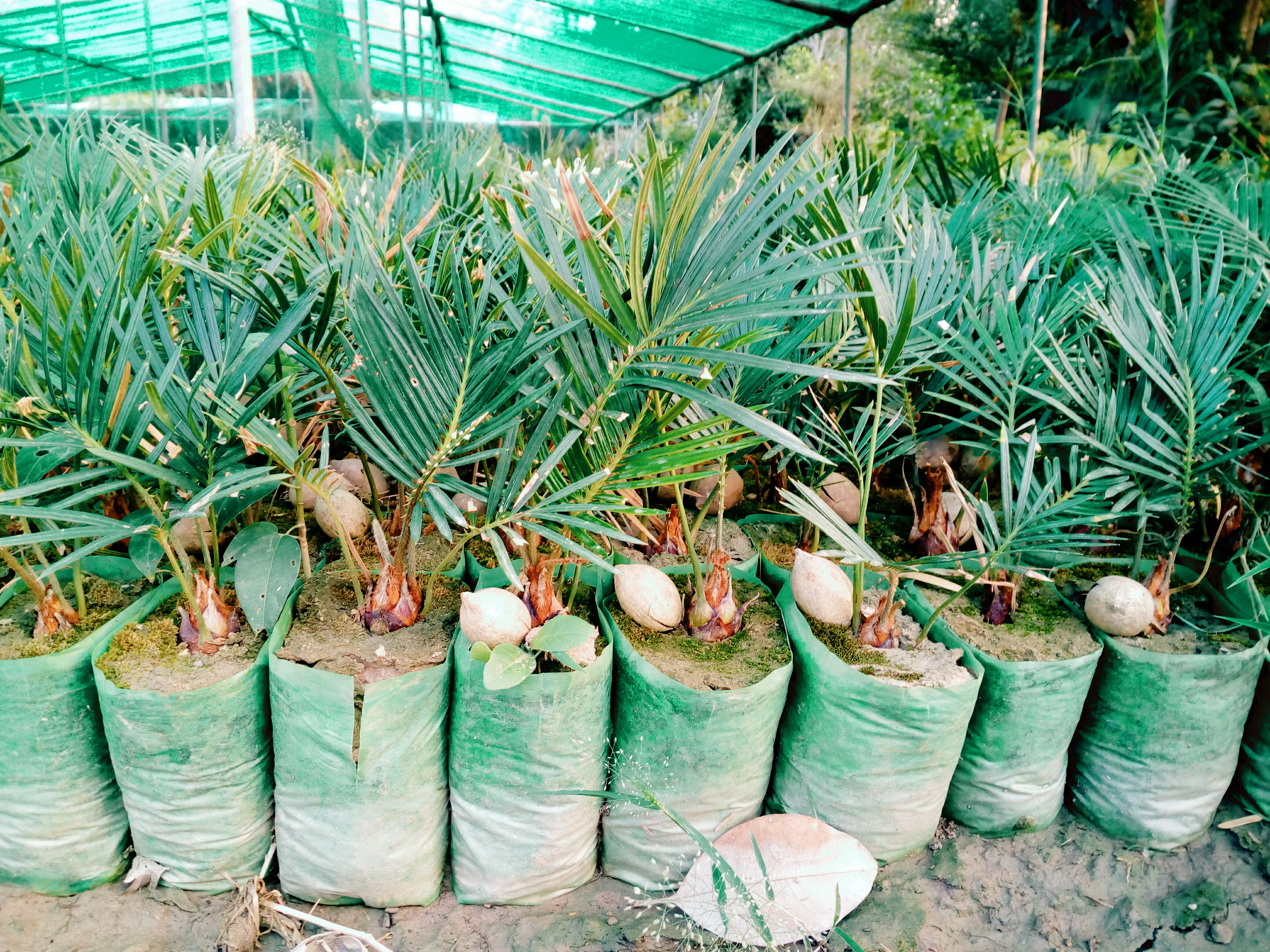 kANGI PALM SEEDLINGS