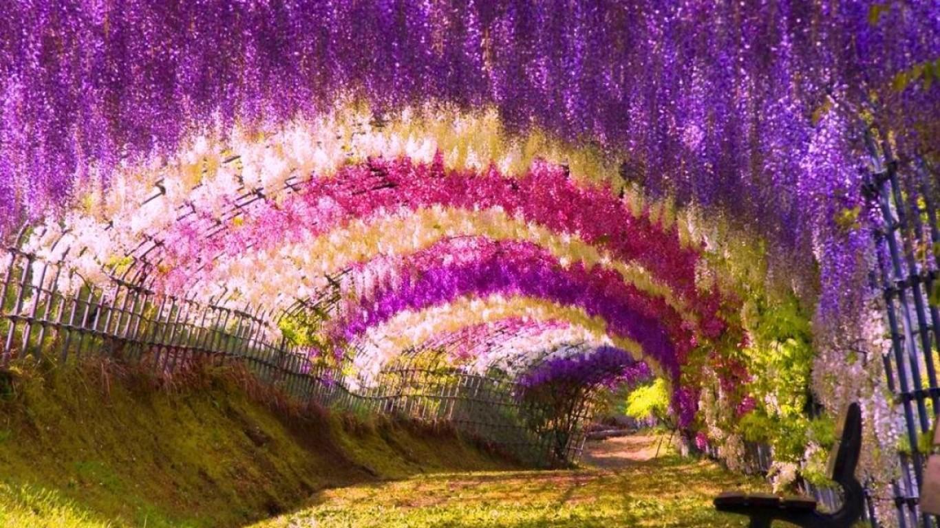 Wisteria flowering trees