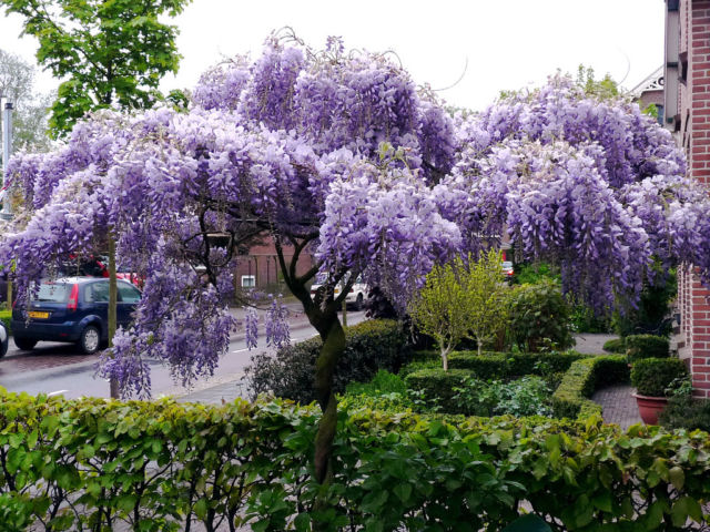 Wisteria purple color plants in pakistan