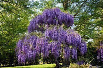 purple wisteria plants for sale