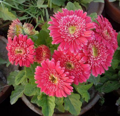 Double Gerbera plants in pattoki