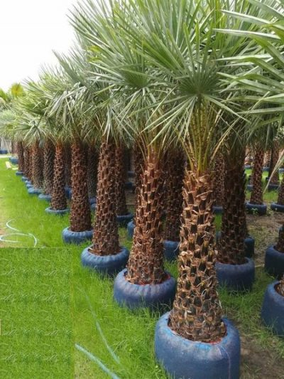 Imported Copernicia Palm trees for sale