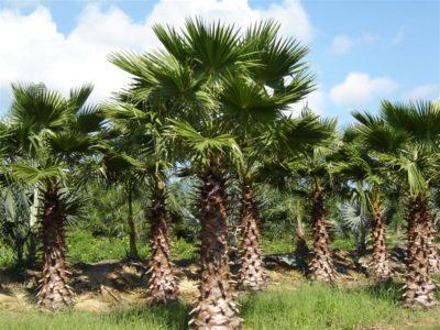 washingtonia palm plants in pakistan