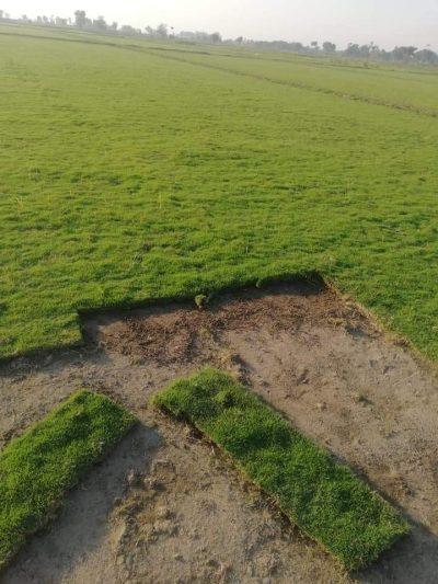 fine dhaka grass korian grass