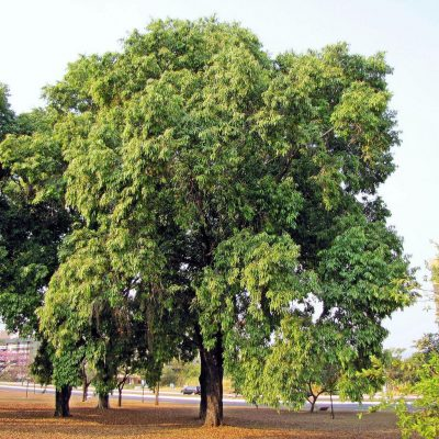 java plum or jaman plants in pakistan