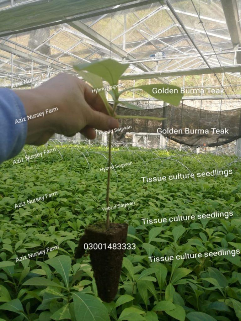 tissue culture hybrid sagwan
