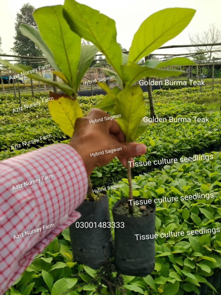 Root propagated teak plants
